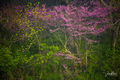 Iowa, Red Haw State Park, limited edition, artist, collectors, forest, woods, redbuds, landscape,