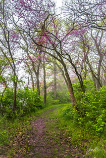 Pink redbud blossoms line the trail on a foggy spring morning in Red Haw State Park, Iowa.
