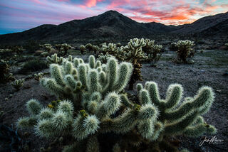 Cholla cactus in Joshua Tree National Park, California under a colorful sunset.