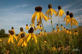 coneflower, Cedar County, Iowa, prairie