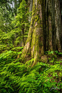 The moss covered trunk of a large cedar tree stands above the ferns and dense vegetation of Ross Creek Grove in a remote corner of northwest Montana.