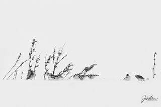 snow buntings, iowa, black and white, cedar county