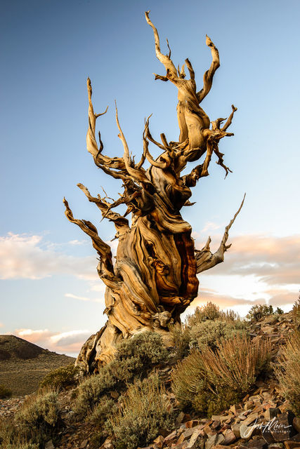 Ancient Bristlecone Pine, California,  Inyo National Forest, White Mountains, oldest, life, trees,
