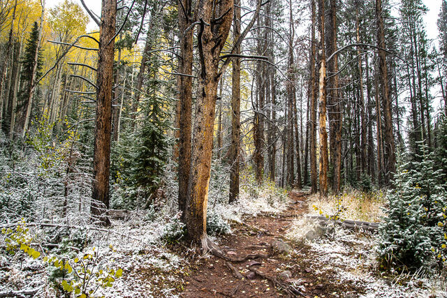 Trail lined with fresh snow and fallen aspen leaves in Wasatch National Forest, Utah.