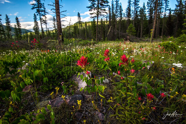 Indian paintbrush and other wildflowers in bloom in Flathead National Forest, Montana.