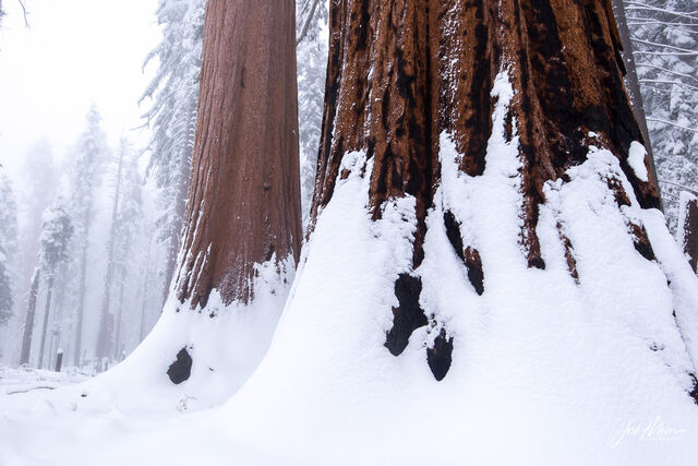 A magical scene high in the mountains of Sequoia National Park as fog lingers above the giant trees blanketed in heavy snow.