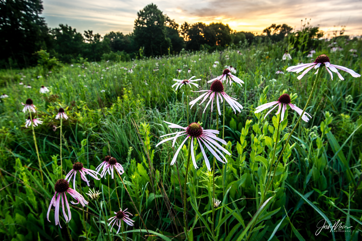 Pale purple coneflowers greet the dawn at Herbert Hoover National Historic Site in West Branch, Iowa.