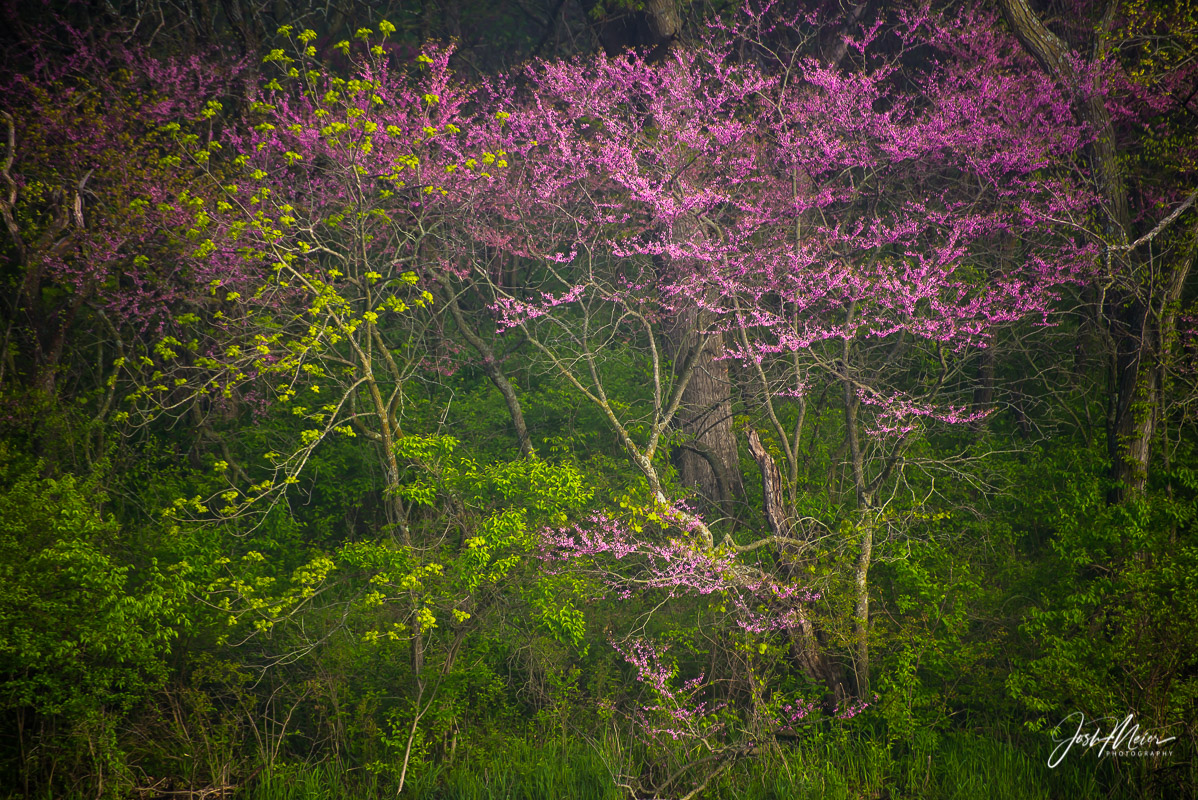 Iowa, Red Haw State Park, limited edition, artist, collectors, forest, woods, redbuds, landscape,, photo