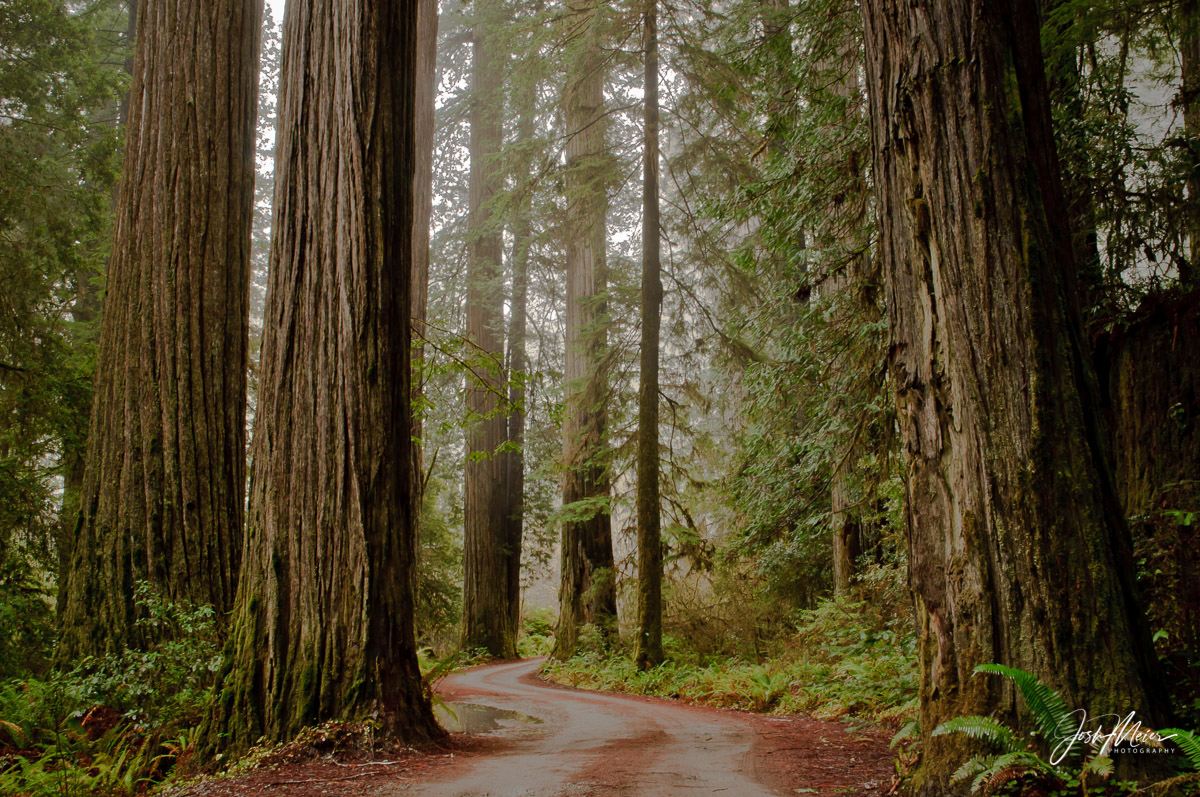 A narrow road winds through towering redwoods in Stout Grove at California's Redwood National Park.