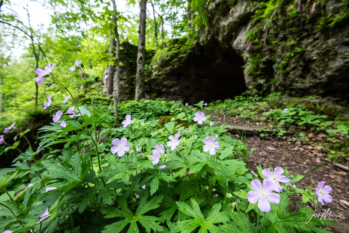 Wild geranium growing near the entrance to Horsethief Cave in Wapsipinicon State Park. Local lore tells of rustlers that once...