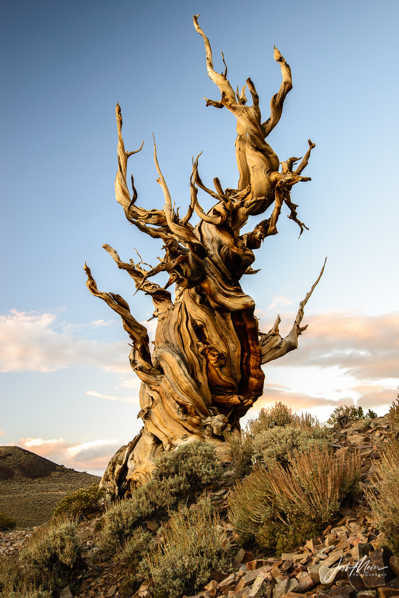 Ancient Bristlecone Pine, California,  Inyo National Forest, White Mountains, oldest, life, trees,, photo
