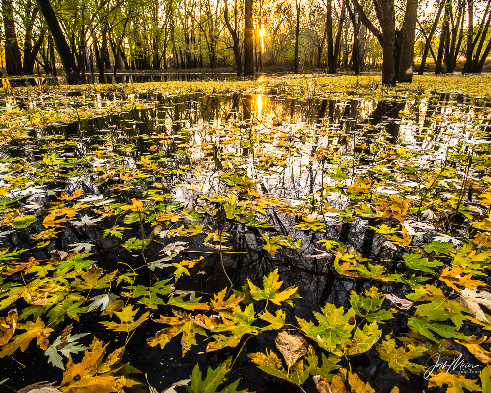 Autumn leaves afloat on backwater along the Sac and Fox Trail near Indian Creek Nature Center in Cedar Rapids, Iowa