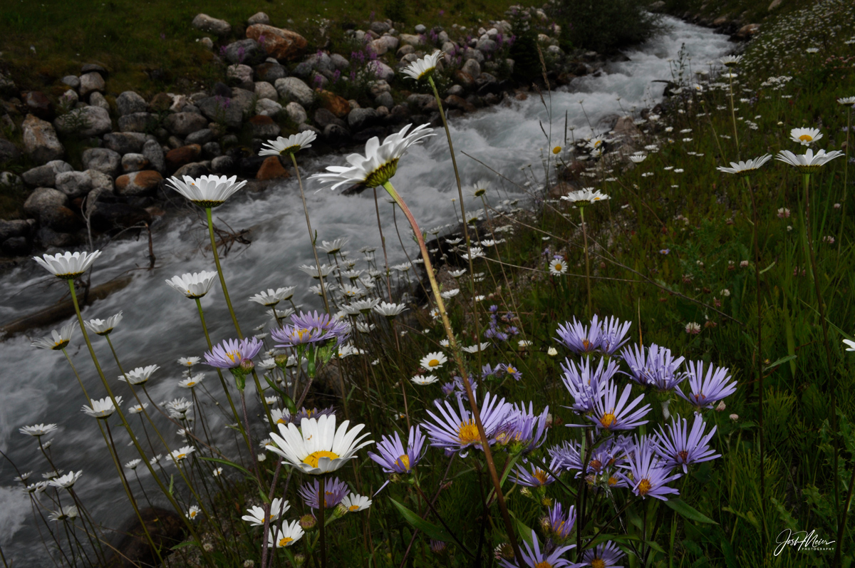 Small brook slicing through a wildflower filled meadow in Banff National Park.